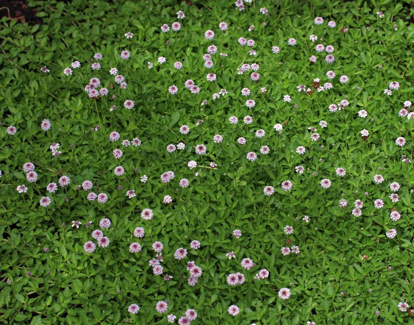 CA Lawn Alternative Drought Tolerant Many Soil Types Lippia