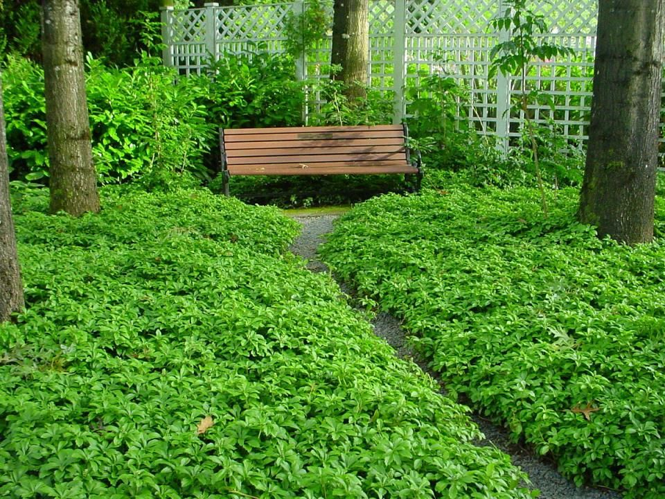 Japanese Pachysandra My Garden Pinterest Plants And